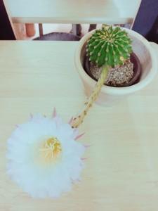 サボテンの花 玉造にある美容室OHANAn(オハナ)